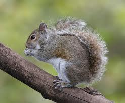 Cornelius Squirrel Control