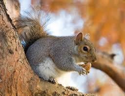 Cornelius Squirrel Removal
